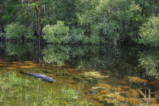 Alligator in den Everglades, Florida, USA